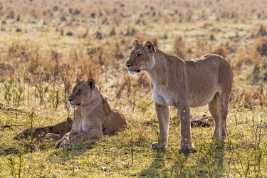 KEN11039AW Kenya, Maasai Mara National Game Reserve. Lionesses on the alert for other pride members and for prey.