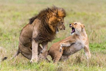 KEN11043AW Kenya, Maasai Mara National Game Reserve. Male and female lion mating