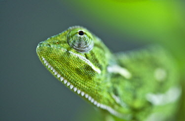 KEN11049AW Kenya, Maasai Mara National Reserve. Flap-necked chameleion.