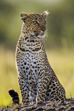 KEN11060AW Kenya, Maasai Mara National Game Reserve. Female leopard watchful for prey late in the afternoon