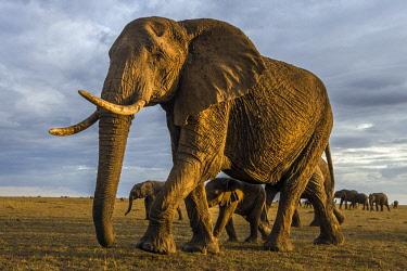 KEN11082AW Kenya, Maasai Mara National Game Reserve. Breeding herd of elephants making their way across the savanna with their young calf.