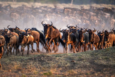 Kenya, Maasai Mara National Game Reserve, Paradise Plain. Herd of wildebeest running towards one of their traditional river crossing sites along the Mara River.