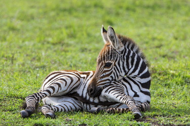 KEN11093AW Kenya, Maasai Mara National Game Reserve. Zebra foal resting while its mother grazes on short green flush.