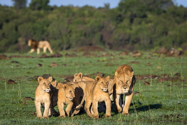 KEN11108AW Kenya, Maasai Mara National Game Reserve, Paradise Plain. Lioness from the Paradise Pride of lions leads the cubs away to rest up in the shade early in the moring. There had been an altercation at a k...