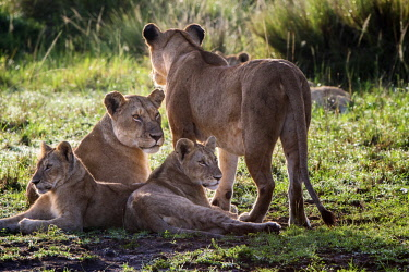 KEN11111AW Kenya, Maasai Mara National Game Reserve, Paradise Plain. Lionesses from the Paradise Pride of lions resting with their cubs close to shade and safety among one of the rocky hills near to the Mara Riv...
