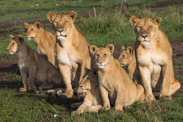 KEN11112AW Kenya, Maasai Mara National Game Reserve, Paradise Plain. Lioness from the Paradise Pride of lions in the process of leading their cubs away to rest up in the shade early in the moring. There had been...
