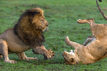 KEN11115AW Kenya, Maasai Mara National Game Reserve, Paradise Plain. Male lion and lioness threatening each other after mating, showing signs of aggression and submission or appeasement. This is Scarface of the...