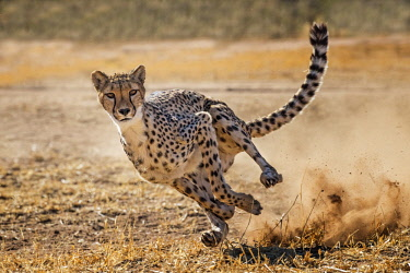 NAM6453AW Namibia; Otjiwarango, Cheetah Conservation Fund. Cheetah running after lure at CCF to exercise and keep fit and healthy.