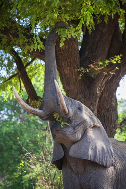 ZAM8089AW Zambia, South Luangwa National Park, Mfuwe. A bull elephant uses his trunk to grasp leaves and branches from a tree during the dry season, and to search for ripe fruits.