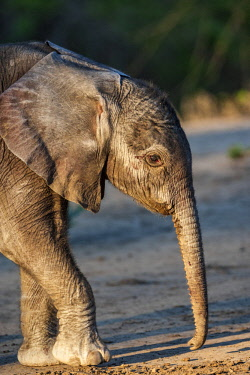 ZAM8096AW Zambia, South Luangwa National Park, Mfuwe. A newborn elephant steadies itself on wobbly legs as it takes its first steps