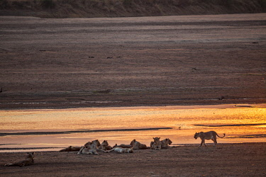 ZAM8102AW Zambia, South Luangwa National Park, Mfuwe. A pride of lions resting at the edge of the Luangwa River after drinking in the late evening at sunset after a long hot day.