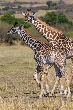 KEN11157AW Kenya, Narok County, Maasai Mara National Reserve. Masai giraffe and calf browsing among acacia woodlands.