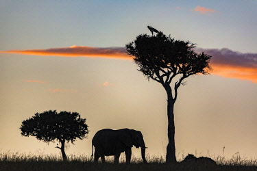 KEN11171AW Kenya, Narok County, Maasai Mara National Reserve. Silhouette of elephant against the sunset.
