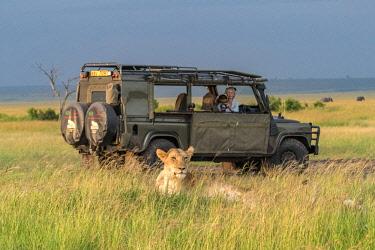 KEN11174AW Kenya, Narok County, Maasai Mara National Reserve. Angela Scott photographing a lioness from the Marsh Pride along Bila Shaka. The lioness had two cubs.