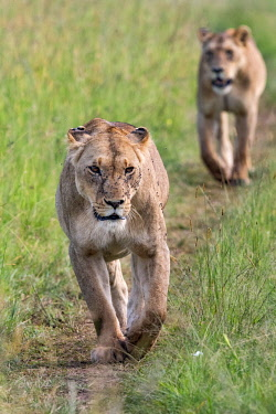 KEN11178AW Kenya, Narok County, Maasai Mara National Reserve. Lionesses waling along a game trail to cover early in the morning