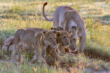 KEN11196AW Kenya, Maasai Mara National Game Reserve. A lioness and cubs greet as they walk along a pathway through long red oat grass at the end of the rainy season. They are headed to higher ground to lie up du...