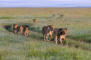 KEN11198AW Kenya, Maasai Mara National Game Reserve. Lionesses and cubs walk along a vehicle pathway through long red oat grass at the end of the rainy season, headed to higher ground to lie up during the heat o...