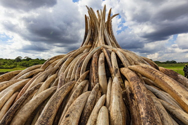 KEN11200AW Kenya, Nairobi National Park, Nairobi. Stacks of ivory tusks - 105 tons in total - are piled high ready to be burned by President Uhuru Kenyatta on the 30th April 2016. The value was estimated in the...
