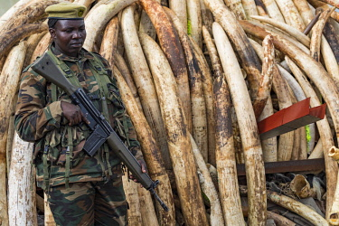 KEN11204AW Kenya, Nairobi National Park, Nairobi. Stacks of ivory tusks - 105 tons in total - and ivory carvings are piled high ready to be burned by President Uhuru Kenyatta on the 30th April 2016. The value wa...