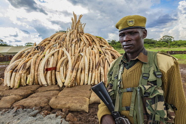 KEN11209AW Kenya, Nairobi National Park, Nairobi. Stacks of ivory tusks - 105 tons in total - and ivory carvings are piled high ready to be burned by President Uhuru Kenyatta on the 30th April 2016. The value wa...