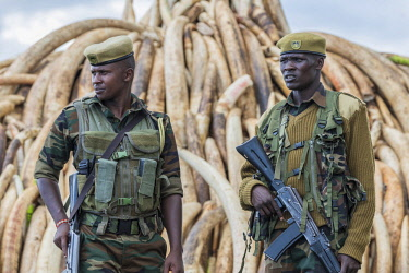 KEN11210AW Kenya, Nairobi National Park, Nairobi. Stacks of ivory tusks - 105 tons in total - and ivory carvings are piled high ready to be burned by President Uhuru Kenyatta on the 30th April 2016. The value wa...