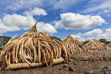 KEN11213AW Kenya, Nairobi National Park, Nairobi. Stacks of ivory tusks - 105 tons in total - and ivory carvings are piled high ready to be burned by President Uhuru Kenyatta on the 30th April 2016. The value wa...