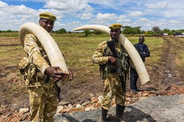 KEN11214AW Kenya, Nairobi National Park, Nairobi. Kenya Wildlife Service Rangers with Ivory tusks. Tusks - 105 tons in total - and ivory carvings were burned by President Uhuru Kenyatta on the 30th April 2016. T...