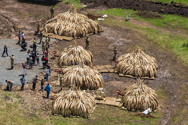KEN11216AW Kenya, Nairobi National Park, Nairobi. Stacks of ivory tusks - 105 tons in total - and ivory carvings being readied to be burned by President Uhuru Kenyatta on the 30th April 2016. The value was estim...