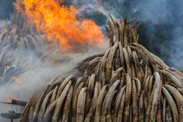 KEN11218AW Kenya, Nairobi National Park, Nairobi. Ivory tusks - 105 tons in total - and ivory carvings were burned by President Uhuru Kenyatta on the 30th April 2016. The value was estimated in the 100s of milli...