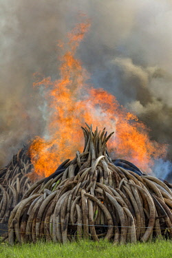 KEN11219AW Kenya, Nairobi National Park, Nairobi. Stacks of ivory tusks - 105 tons in total - are set on fire by President Uhuru Kenyatta on the 30th April 2016. The value was estimated in the 100s of millions o...