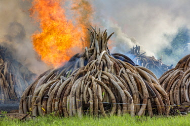 KEN11220AW Kenya, Nairobi National Park, Nairobi. Ivory tusks - 105 tons in total - and ivory carvings set on fire by President Uhuru Kenyatta on the 30th April 2016. The value was estimated in the 100s of milli...