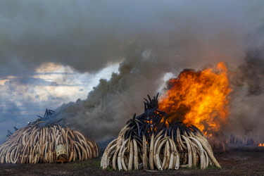 KEN11221AW Kenya, Nairobi National Park, Nairobi. Ivory tusks - 105 tons in total - and ivory carvings set on fire by President Uhuru Kenyatta on the 30th April 2016. The value was estimated in the 100s of milli...