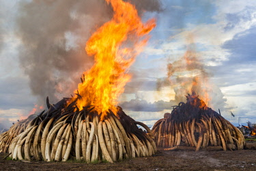 KEN11222AW Kenya, Nairobi National Park, Nairobi. Ivory tusks - 105 tons in total - and ivory carvings set on fire by President Uhuru Kenyatta on the 30th April 2016. The value was estimated in the 100s of milli...