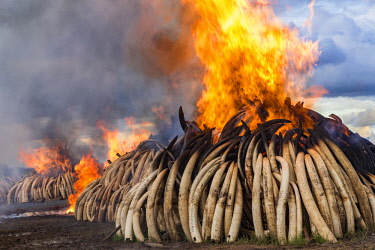 KEN11223AW Kenya, Nairobi National Park, Nairobi. Ivory tusks - 105 tons in total - and ivory carvings set on fire by President Uhuru Kenyatta on the 30th April 2016. The value was estimated in the 100s of milli...