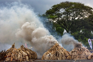 KEN11224AW Kenya, Nairobi National Park, Nairobi. Ivory tusks - 105 tons in total - and ivory carvings set on fire by President Uhuru Kenyatta on the 30th April 2016. The value was estimated in the 100s of milli...