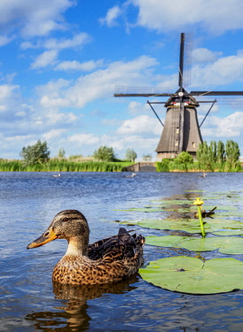 NLD0694AW Duck and Windmill in Kinderdijk, UNESCO World Heritage Site, South Holland, The Netherlands