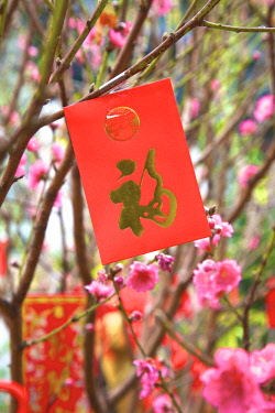 HK01398 Cherry Blossom Trees With Lai See Red Envelopes For Chinese New Year, Hong Kong, Special Administrative Region of the People's Republic of China
