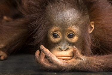 AS11BJY0243 Indonesia, Borneo, Kalimantan. Baby orangutan at Tanjung Puting National Park.
