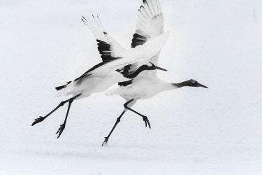 AS15BJY0145 Japan, Hokkaido. Japanese cranes taking flight.