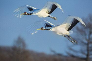 AS15BJY0146 Japan, Hokkaido. Japanese cranes flying.
