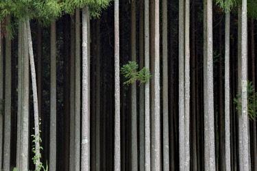 AS15BJY0171 Japan, Nara Prefecture. Cedar trees on Soni Plateau.