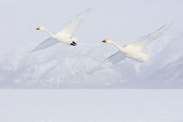 AS15HLL0016 Japan, Hokkaido, Lake Kussharo. Two Whooper Swans flying