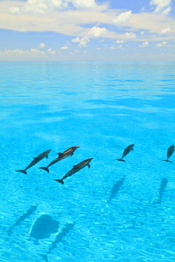Atlantic Spotted Dolphins (Stenella frontalis), White Sand Ridge, Bahamas, Caribbean © AWL Images