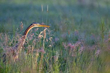 NIS00023721 Purple Heron (Ardea purpurea) hunting in grassland, The Netherlands, Zuid-Holland, Meerkerk