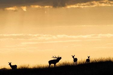 NIS00024435 Red Deer (Cervus elaphus) master stag belllowing on a hilltop against a sunset sky surrounded by three hinds, The Netherlands, Gelderland, Nationaal Park De Hoge Veluwe