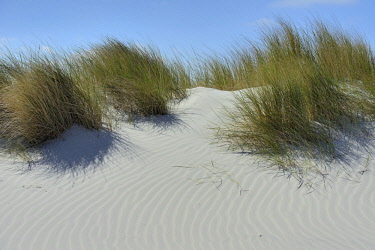 NIS00025087 The dunes of Ameland with European Beach-grass and drift-sand, The Netherlands, Friesland, Ameland