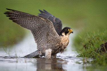 NIS00026266 Peregrine Falcon (Falco peregrinus) takes a bath in a ditch while looking at camera, The Netherlands, Overijssel, Kampen, Kampereiland