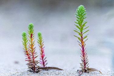 NIS00026451 Sea Spurge (Euphorbia paralias) plant, Belgium, West Flanders, Koksijde