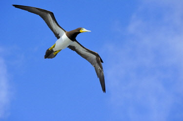 NIS00026584 A female Brown Booby (Sula leugogaster leugogaster) in flight towards the nest, Cayman Islands, British Overseas Territory, Cayman Brac