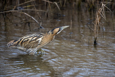 NIS00026665 Great Bittern (Botaurus stellaris) wading through the water looking for food, The Netherlands, Overijssel